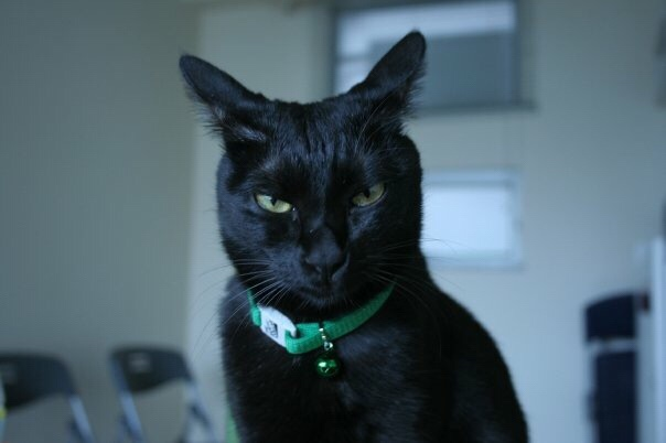 """Black cat looking straight at the camera with a """"what are you looking at?"""" expression"""